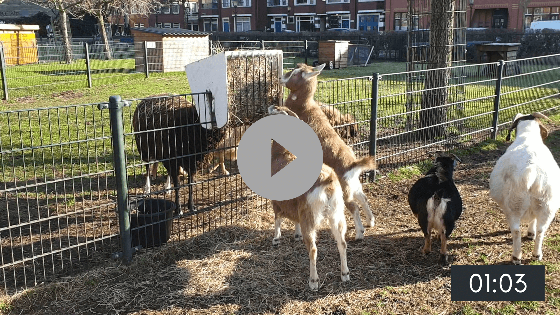 Een dag met de geiten