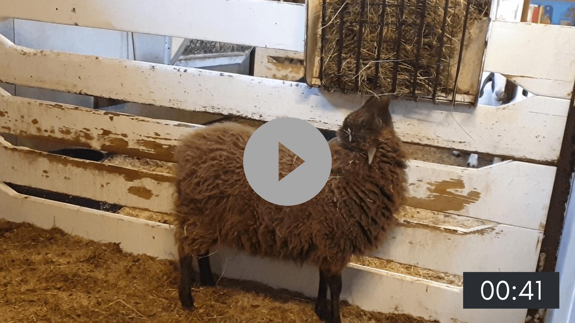 Een dag met de schapen