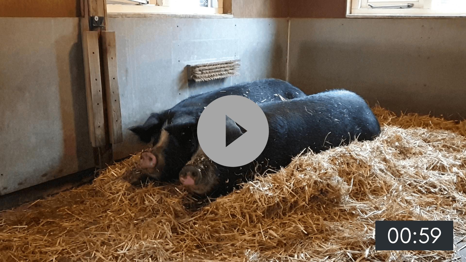 Een dag met de varkens (sneeuw!)